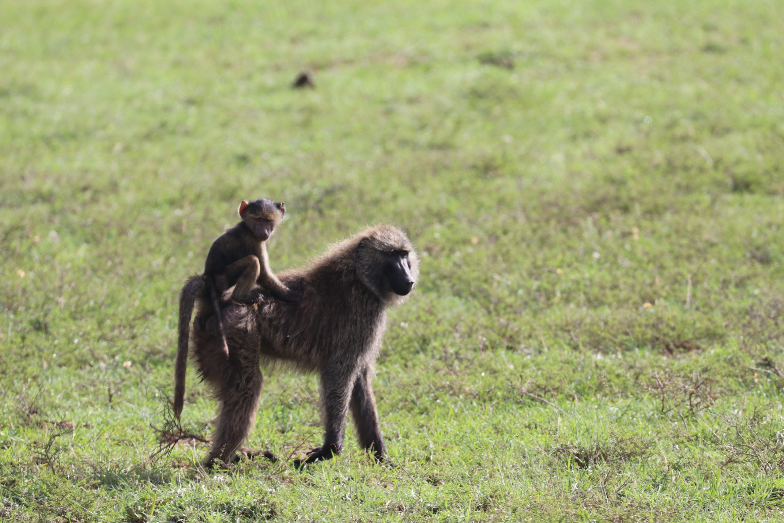 baboon carrying its young on its back