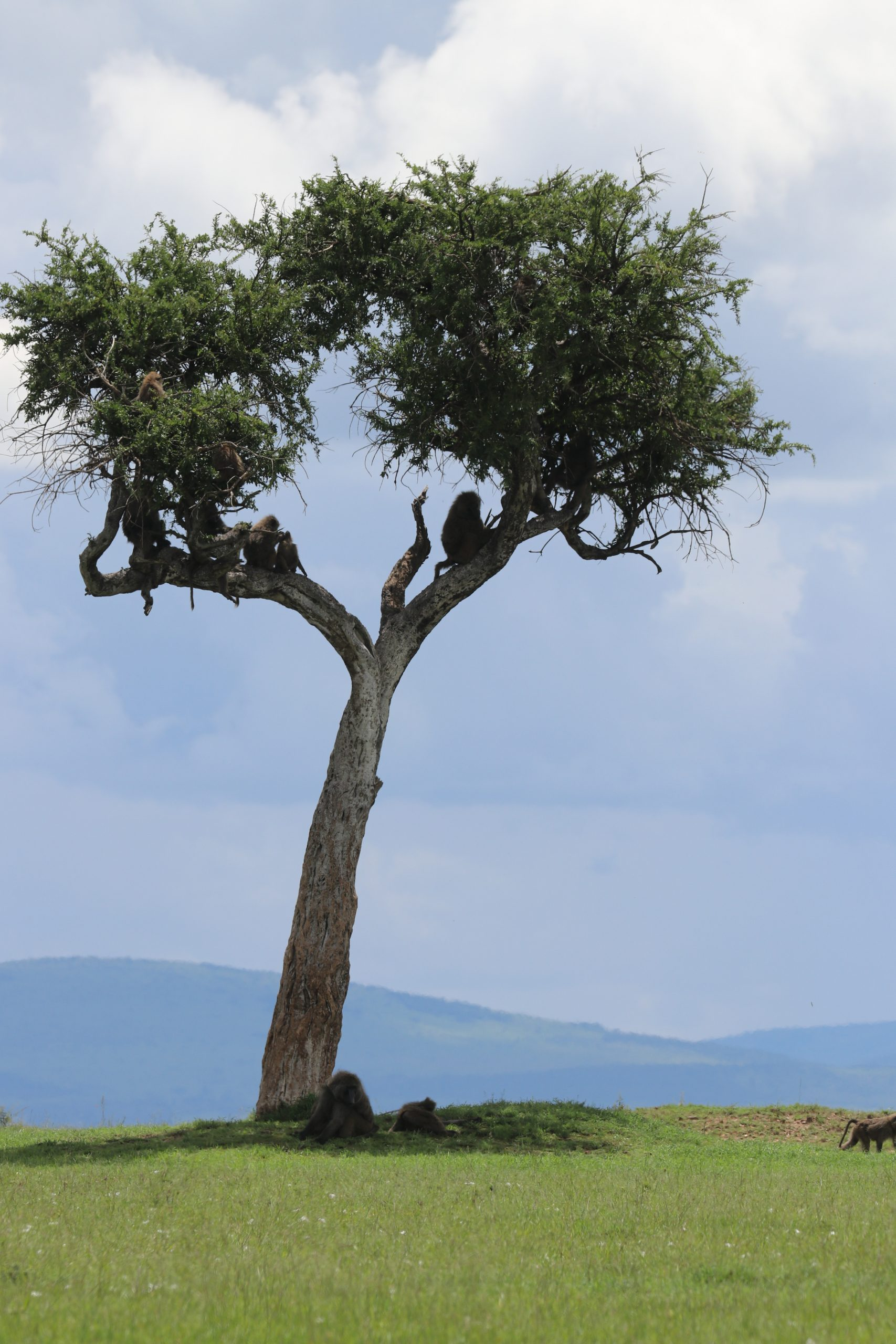 group of baboons perched in a tree