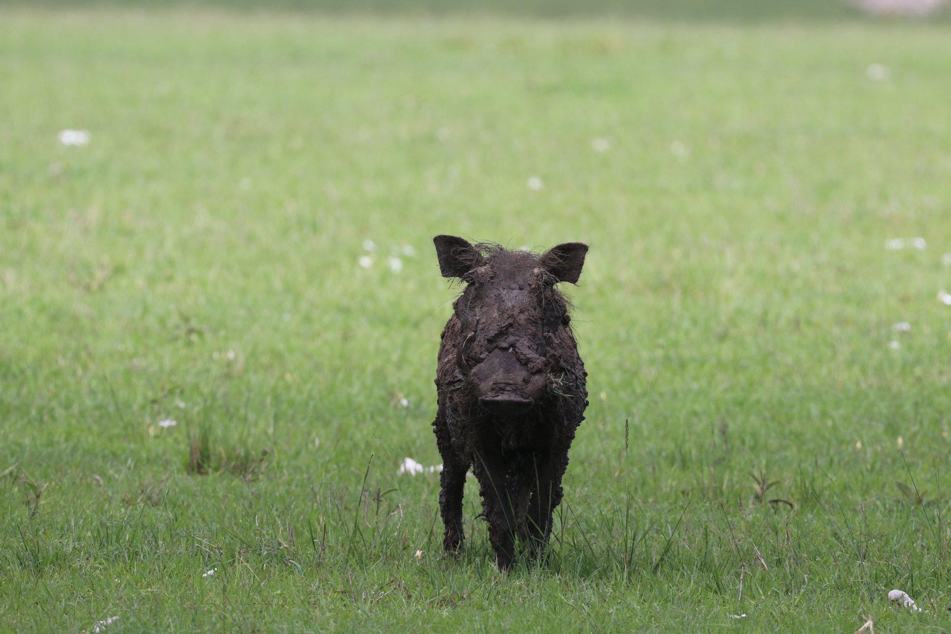 muddy warthog walking in grass