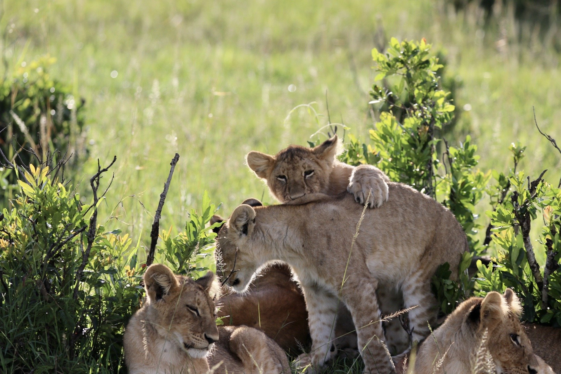 lions cubs playing around